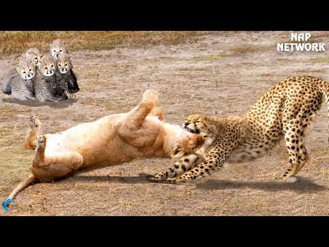 The God can't help Mother Cheetah save Cheetah Cubs escape Power of Lion