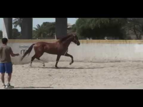 17h Chestnut/Alazan PRE Stallion JL Escalera WWW.PRE-IMPORTS.COM
