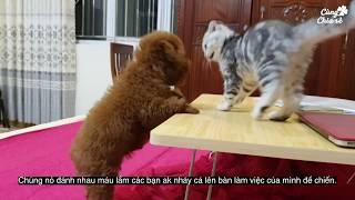 Cuộc chiến chó mèo khi sống chung nhà - Mèo Scottish Fold và chó Poodle tiny - Cùng chia sẻ.