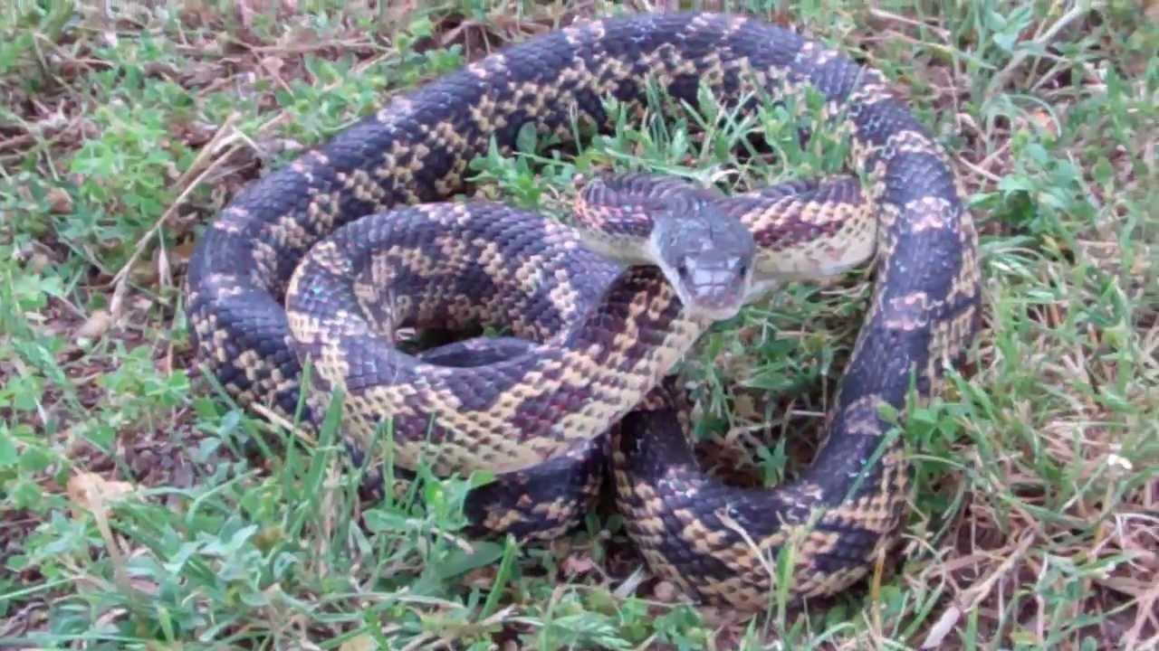 Texas Rat Snake Up Close Youtube