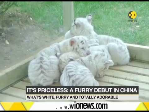 Snow tiger Quintuplets make debut at Jinan wildlife world