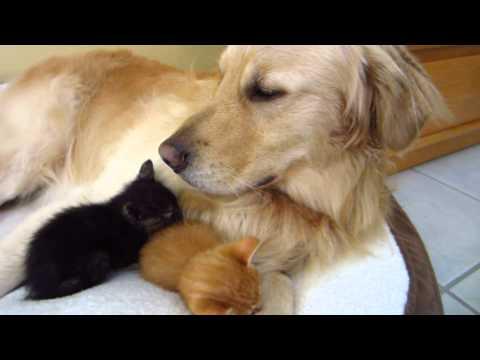 Sleepy Foster Kitten Sneezes In Big Dog's Face - Funny & Cute - 3 Weeks Old