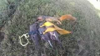 hunting doves with slingshot