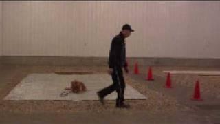 Golden Retriever Charlie - Boot Camp Dog Training Graduate
