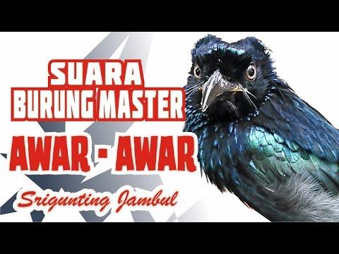 Suara Burung Master Awar-Awar (Srigunting Jambul)