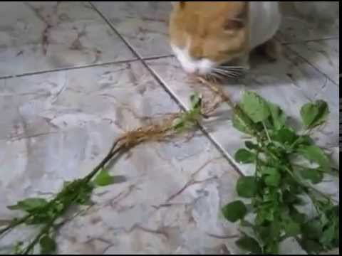 Herbe a chat herbs eating cats youtube - Herbe a chat ...