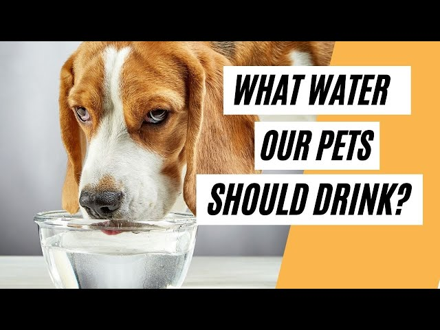 Ionized Water For Pets Everything About Pets You Wish You Knew (What Water To Give To Our Pets?)