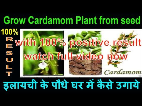 how-to-grow-cardamom-plant-from-seed-at-home-|-elaichi-plant-benefits-for-vastu-and-medicine-at-home