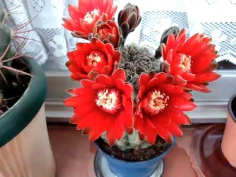 Мои комнатные цветы.Долгожданная радость! Расцвел кактус!GYMNOCALYCIUM