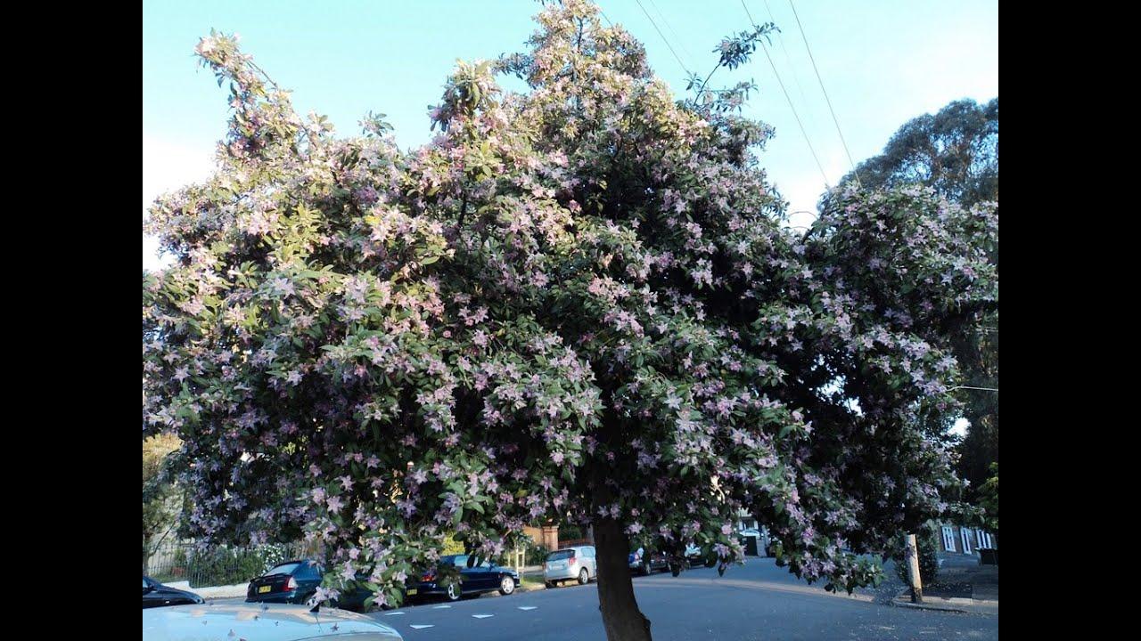Plant Id Norfolk Island Hibiscus Lagunaria Patersonia Youtube