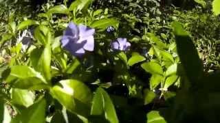 видео Вечнозеленый барвинок
