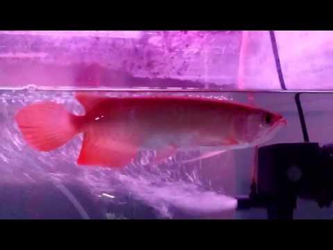 """ปลามังกรแดง 8-9"""" (2)"""