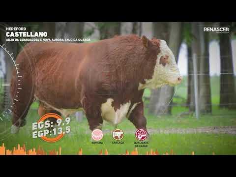 Touro Castellano - Hereford - Sêmen Bovino - RENASCER BIOTECNOLOGIA VIDEO