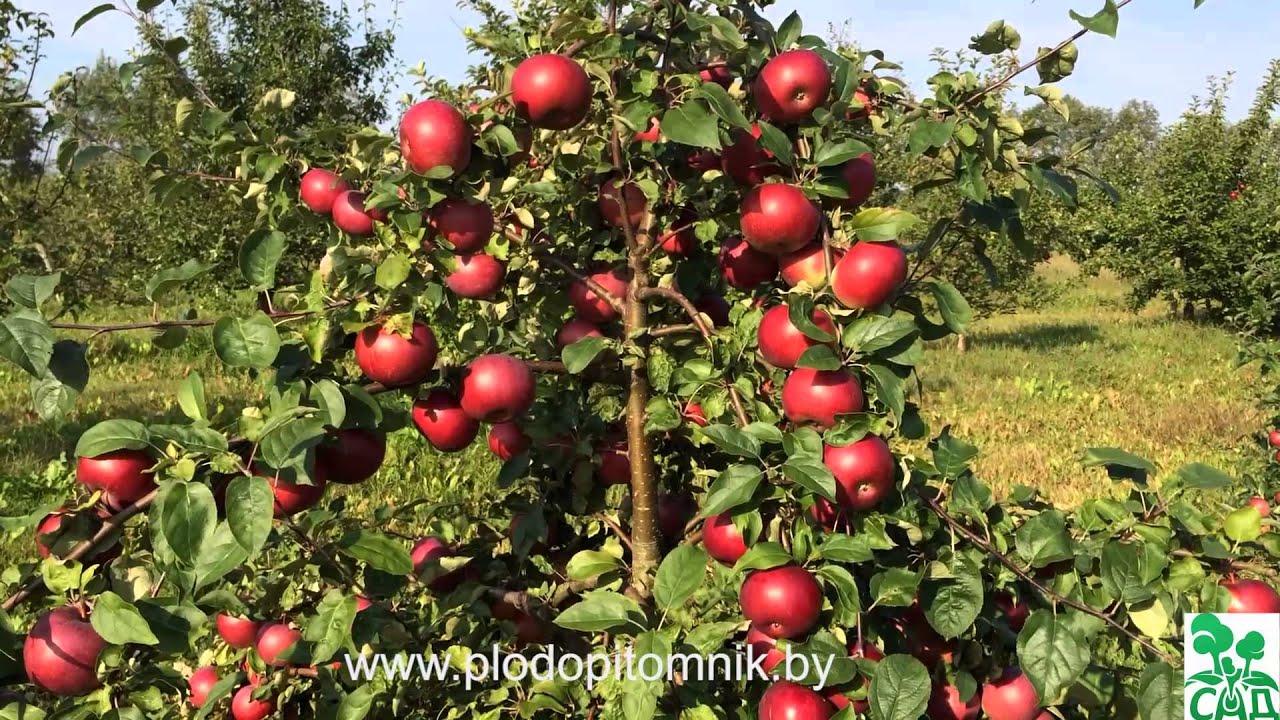 яблоня ауксис фото описание