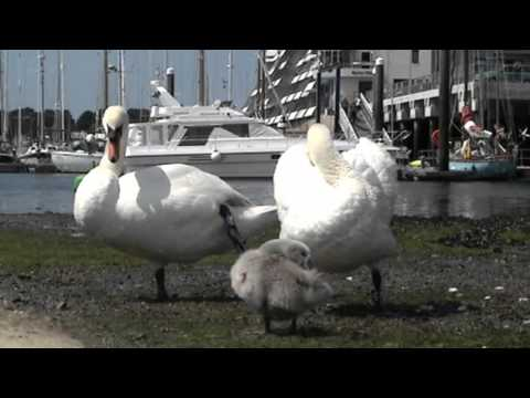 Mute Swans With Young. Admirals Hard StoneHouse Plymouth