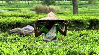 Wide-brimmed hats worn by workers in Assam tea garden