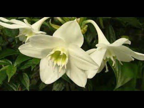 Как заставить цвести эухарис.( Eucharis Grandiflora).