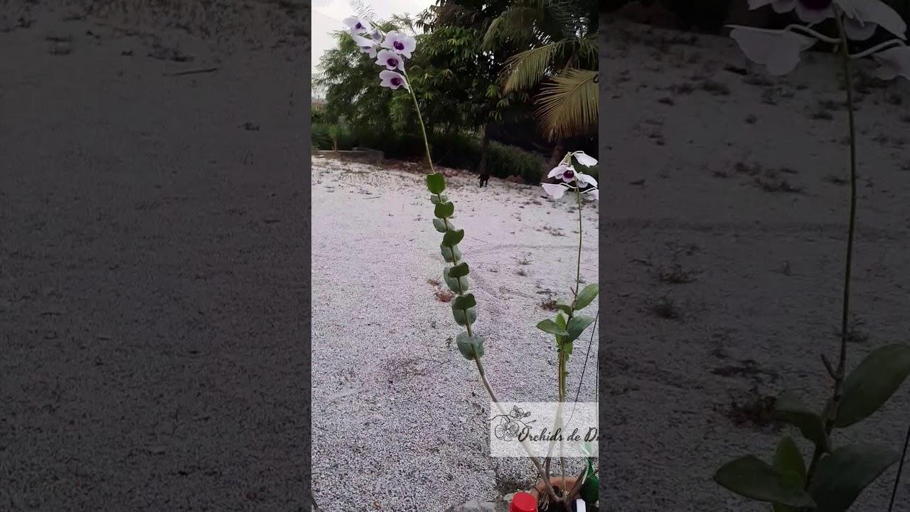 Anggrek Frosty Dawn godean.web.id