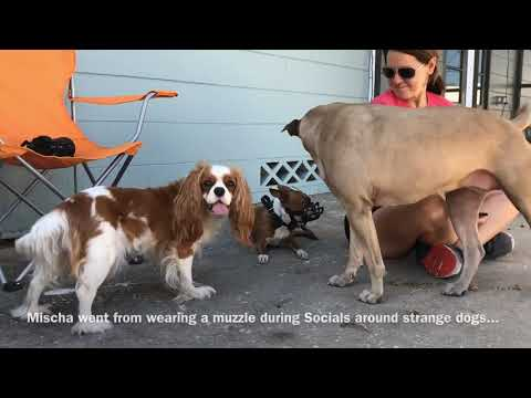 Human And Dog Aggressive Boston Terriers Transformed