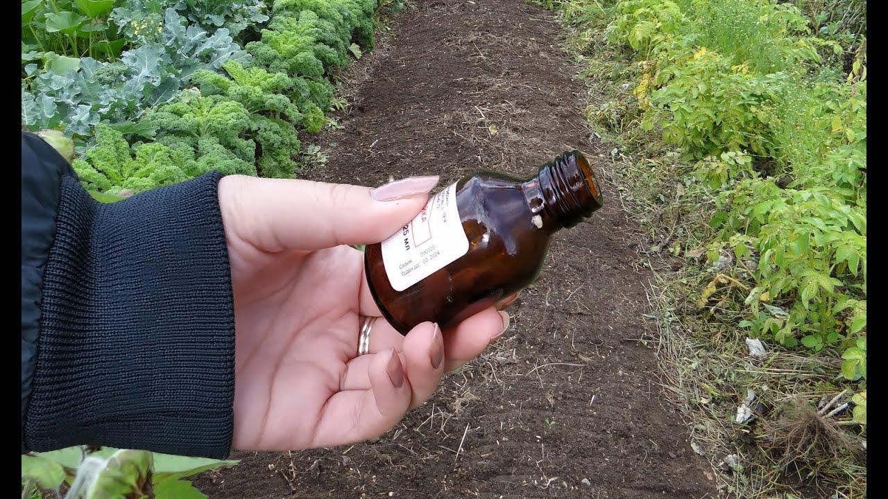 Брызгаю этим, огород завалило урожаем, по секрету расскажу рецепт подкормки