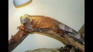 Buy Heat Lamp for Iguana from Amazon