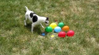 DOG vs. WATER BALLOONS