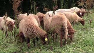 Comment je suis devenu éleveur de moutons