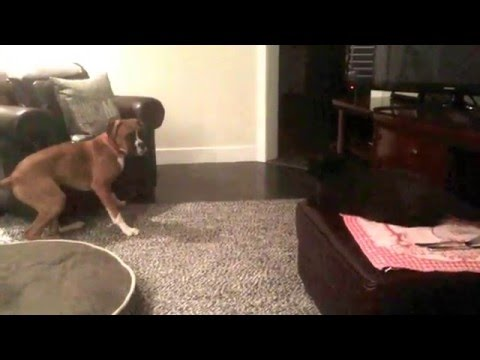 Cute Boxer Puppy V.S. Cat - FUNNY EPIC FAIL