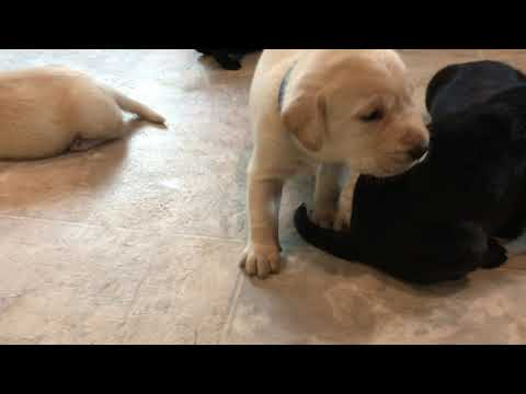 Annie 3-week-old British Labra...
