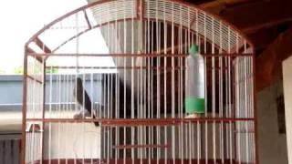 Coleiro Canto Especial - Cd coleiro pantanal