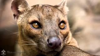Фосса удевительный мир о.Мадагаскар