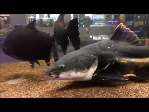 Giant Redtail Catfish Feeding
