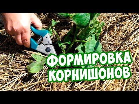 Суперпучковые огурцы 🥒 Как формировать? 🥒  Сад огород