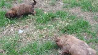 Shih Tzu Puppies @ 6 Weeks