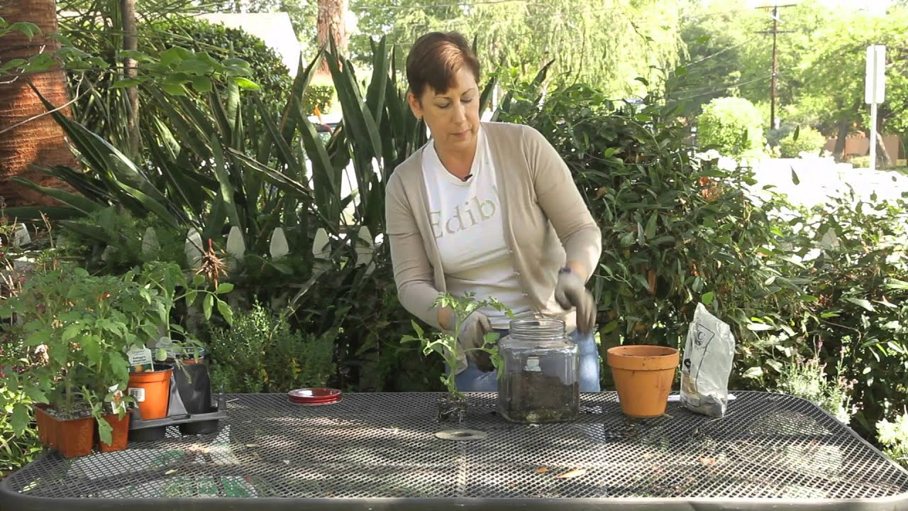 Attrayant How To Take Care Of A Tomato Plant Terrarium : Garden Space