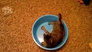 Шестипалая кошка играет в тазу :) 6 fingers cat play with ball