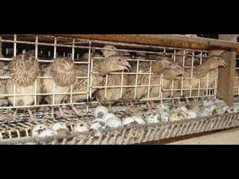 Success story on quail...