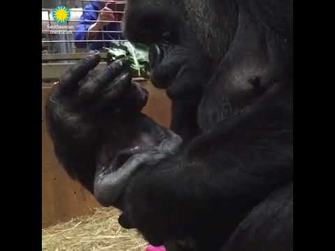 Smithsonian National Zoo welcomes a baby gorilla