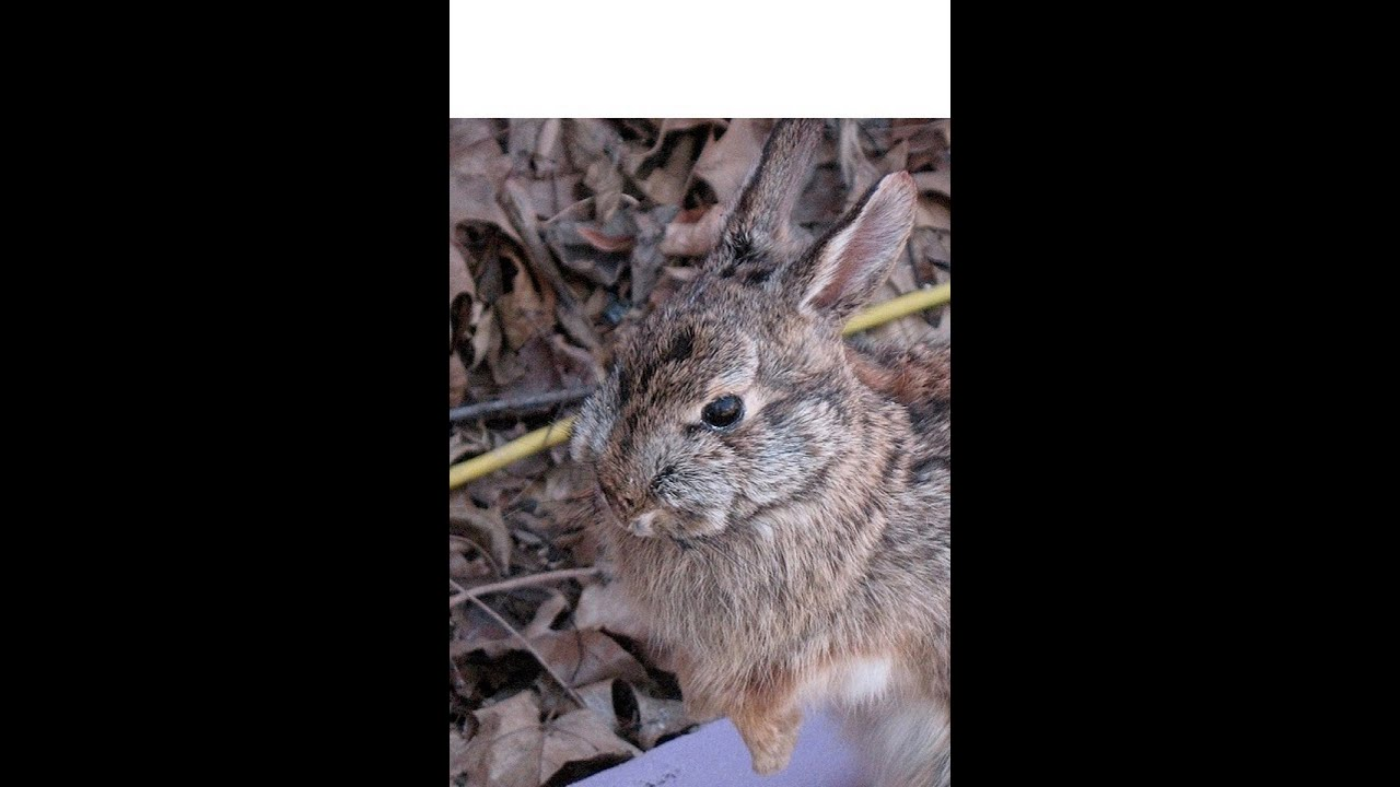 Rabbit Taxidermy Video 1 Of 6 Skinning