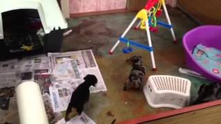 Weanlings Playing At Dachshund Australia
