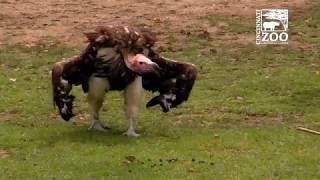 Vultures at Feeding Time - Cincinnati Zoo