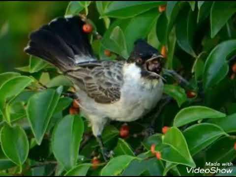 Suara pikat kutilang ribut tuk semua jenis burung,
