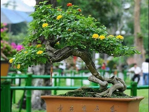 The Lantana Bonsai Tree
