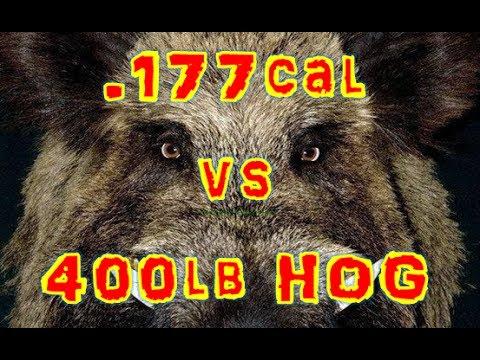 ".177cal Air Ri-fle vs 400lb Hog (Head-sh`ot) with 2"" Thick SKULL"