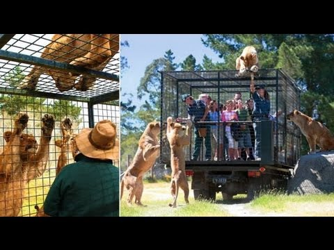 Orana Wildlife Park, New Zealand, The zoo where tourists are caged for close encounter with lions.