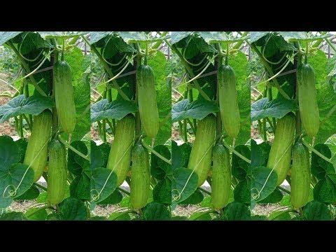 টবে শসা চাষ পদ্ধতি  ॥ শসা গাছের পরিচর্যা করার নিয়ম ॥  Growing Cucumber in Pots