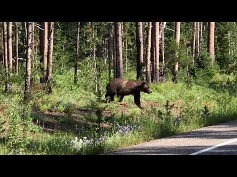 Huge Silver tip Grizzly Bear Crossing Road Grand Teton Yellowstone National Park