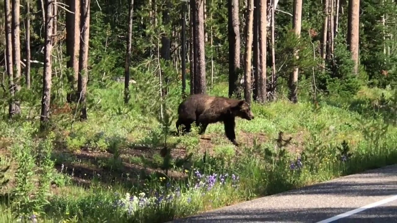 Huge Silver Tip Grizzly Bear Crossing Road Grand Teton