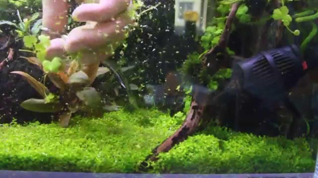 Micranthemum monte carlo care - The Aquarium Plant Blog