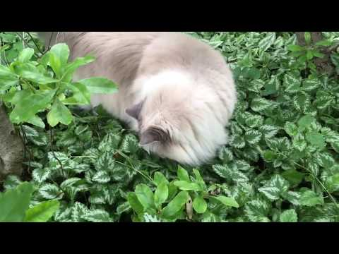 Ragdoll Cats Outside June 2017 Compilation Video - Floppycats